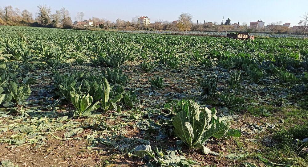 Samsun'un Bafra ilçesinde bir tarlada ekili 1 ton karnabahar henüz kimliği belirsiz kişi veya kişilerce çalındı.