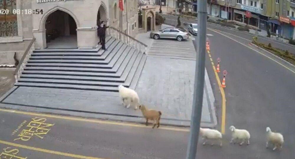 Nevşehir'de ahırdan kaçan 1 koyun, 1 keçi ve 3 kuzu, Nevşehir Belediye binasına geldi.