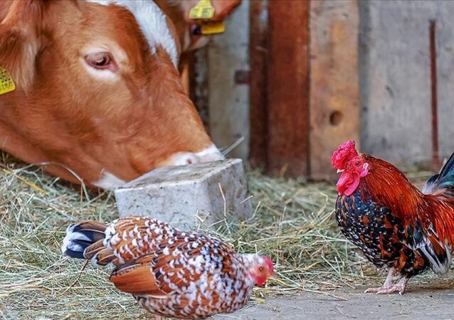 Sığır - tavuk -  Sığır ve kümes hayvanları