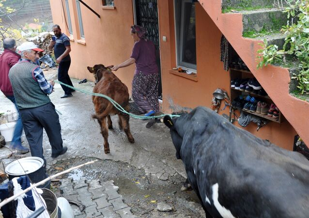 Antalya'nın Gazipaşa ilçesinde cinsel saldırıya uğrayan 2 aylık buzağı ile annesi