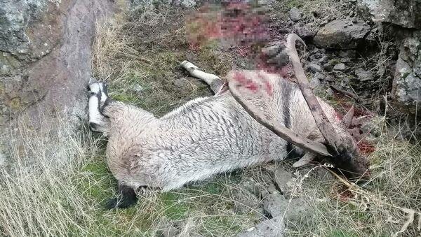 Avcılar tarafından avlanan dağ keçisi - Sputnik Türkiye