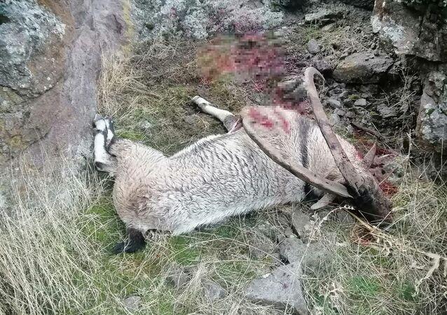 Avcılar tarafından avlanan dağ keçisi