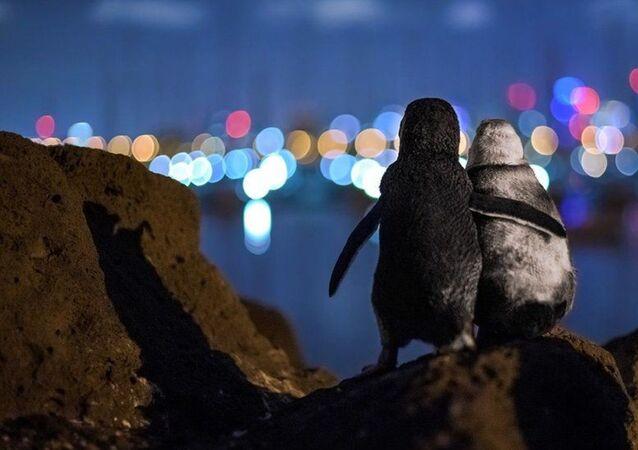 Alman fotoğrafçı Tobias Baumgaertner tarafından Avustralya'nın Melbourne kentinde çekilen, birbirini teselli eden iki dul kalmış penguenin fotoğrafı