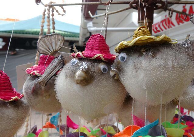 Yıllarca balıkçılık yaptıktan sonra Ayvalık ilçesine bağlı Cunda Adası'nda hediyelik eşya dükkanı açan Cemal Çakmak, Uzak Doğu ülkelerinden ithal ettiği kurutulmuş balon balıklarını, süs eşyası olarak satıyor.