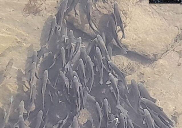 Debisi düşen Kızılırmak'ta toplanan balıklar