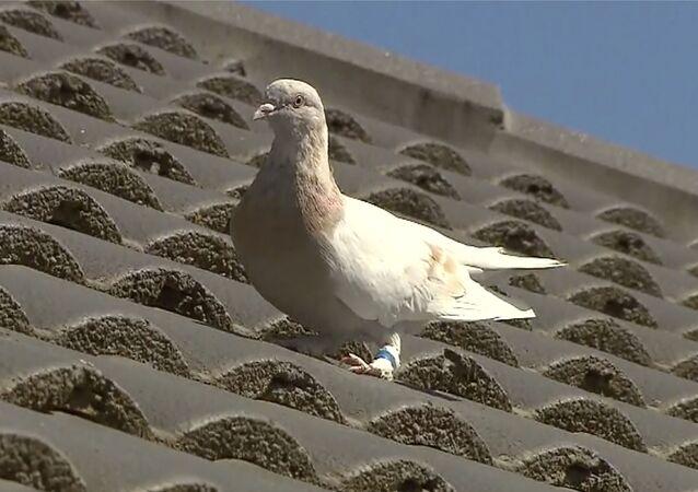 Güvercin Joe
