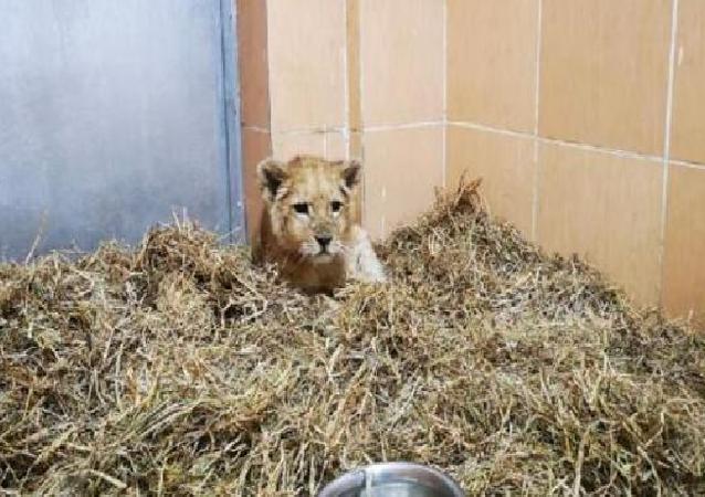 İzmir'de bir çiftlikte yasa dışı yollardan getirilen 3 aylık yavru aslan ele geçirildi