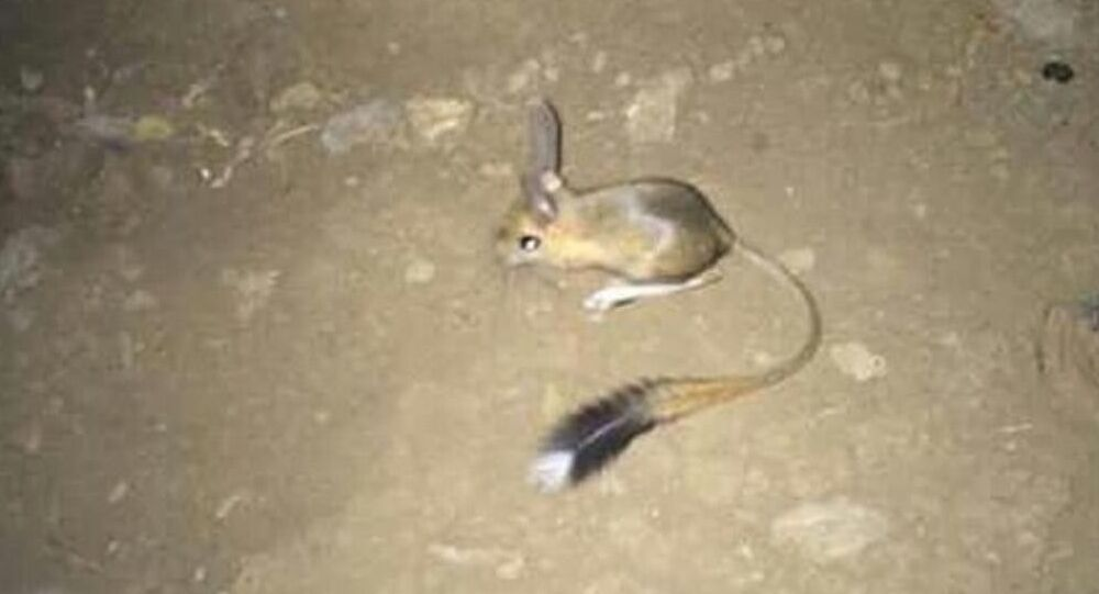 Arap tavşanı Uludere'de görüntülendi