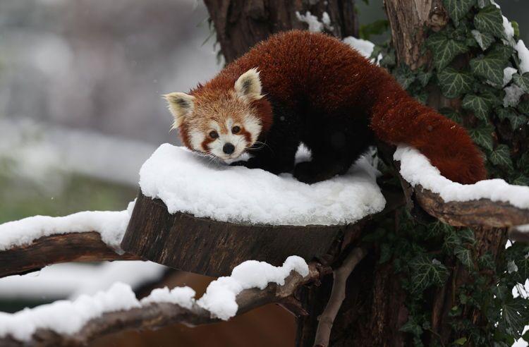 Kış şartlarına dayanıklı olan kırmızı pandalar da yaşam alanlarında karın tadını çıkarıyor.