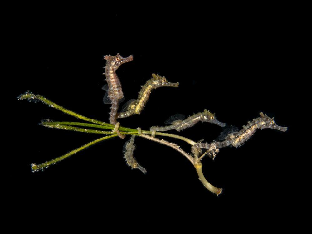 Yarışmanın Kompakt Makro kategorisinde birincilik kazanan PT Hirschfield'in çalışmasında 5  denizatı yavrusu görüntülendi