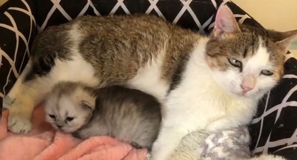 Çin'de klonlanan orman kedisi, Ping'an