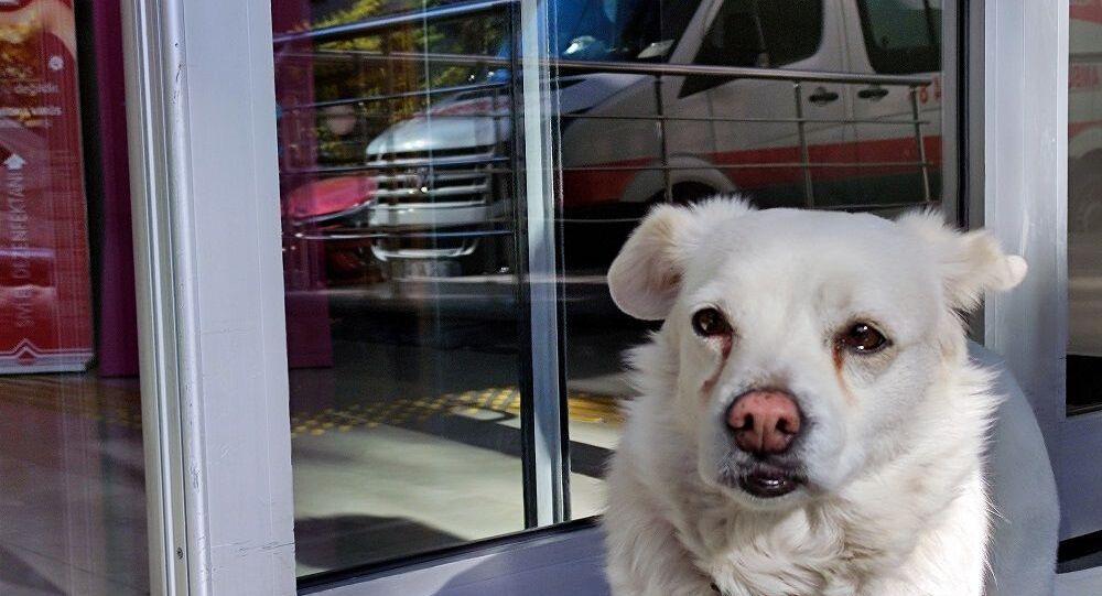 Trabzon'da sahibi hastaneye kaldırılan köpek 5 gündür hastanenin önünde  bekliyor - Sputnik Türkiye