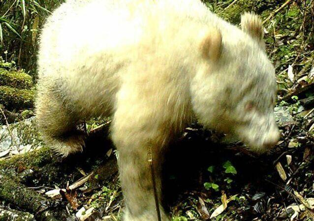 Dünyanın bilinen tek albino pandası Çin'de görüntülendi