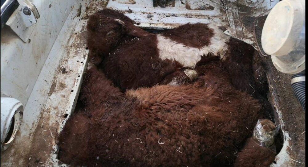 Akçakale Gümrük Kapısı'ndan Türkiye'ye giriş yapmak isteyen bir otomobilin motor ve bagaj bölümlerindeki özel bölmeye gizlenmiş 4 kuzu