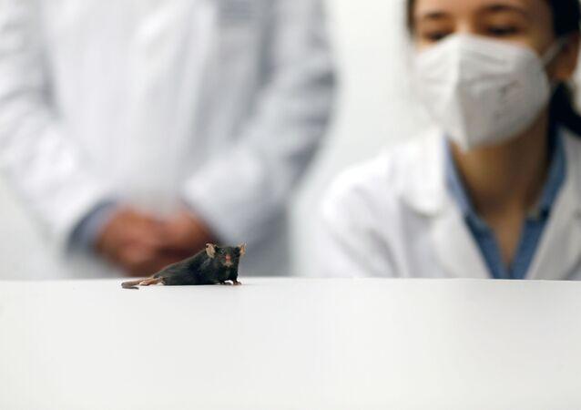 Felç olmuş fareyi yeniden yürüten Almanya'nın Bochum kentindeki Ruhr Üniversitesi'nin araştırmacıları, tasarım proteini kullanarak farenin sinir hücrelerini uyarıp canlandırdı.