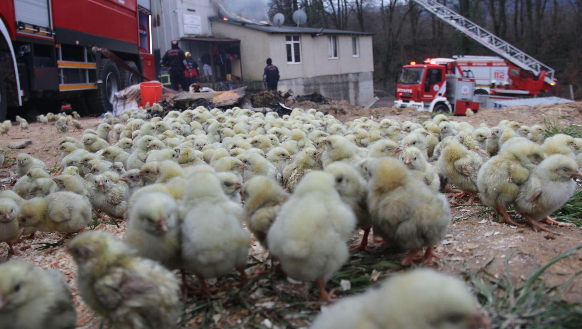 56 bin civcivin bulunduğu çiftlikte yangın, Kocaeli - Sputnik Türkiye, 1920, 01.02.2021