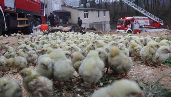 56 bin civcivin bulunduğu çiftlikte yangın, Kocaeli - Sputnik Türkiye