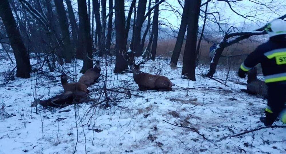 Avcılardan kaçan geyik sürüsü, donmuş göle düştü: 13 geyik öldü