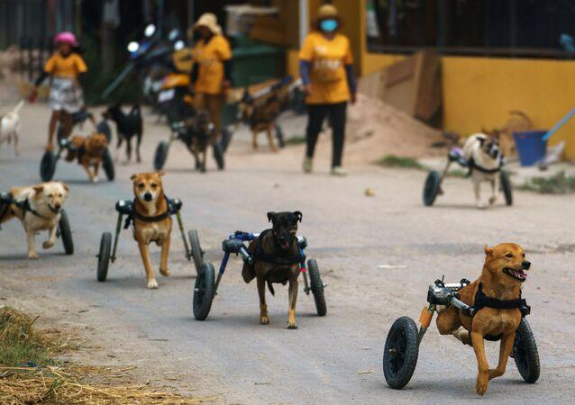 Tayland'daki engelli köpek barınağı salgın nedeniyle tehdit altında