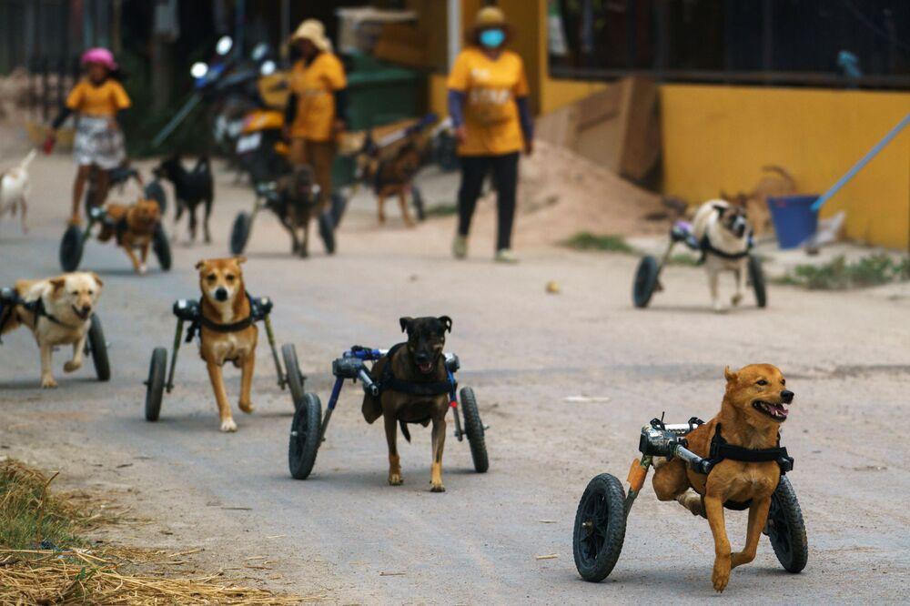 Salgın tehdidi altındaki engelli sokak köpekleri Tayland'daki bu barınakta güvende.