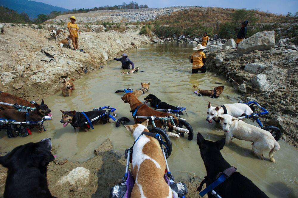 Koruma altına alınan engelli köpekler, arka ayaklarını destekleyen tekerleklerli yürüteçlerle yürüyebiliyorlar.