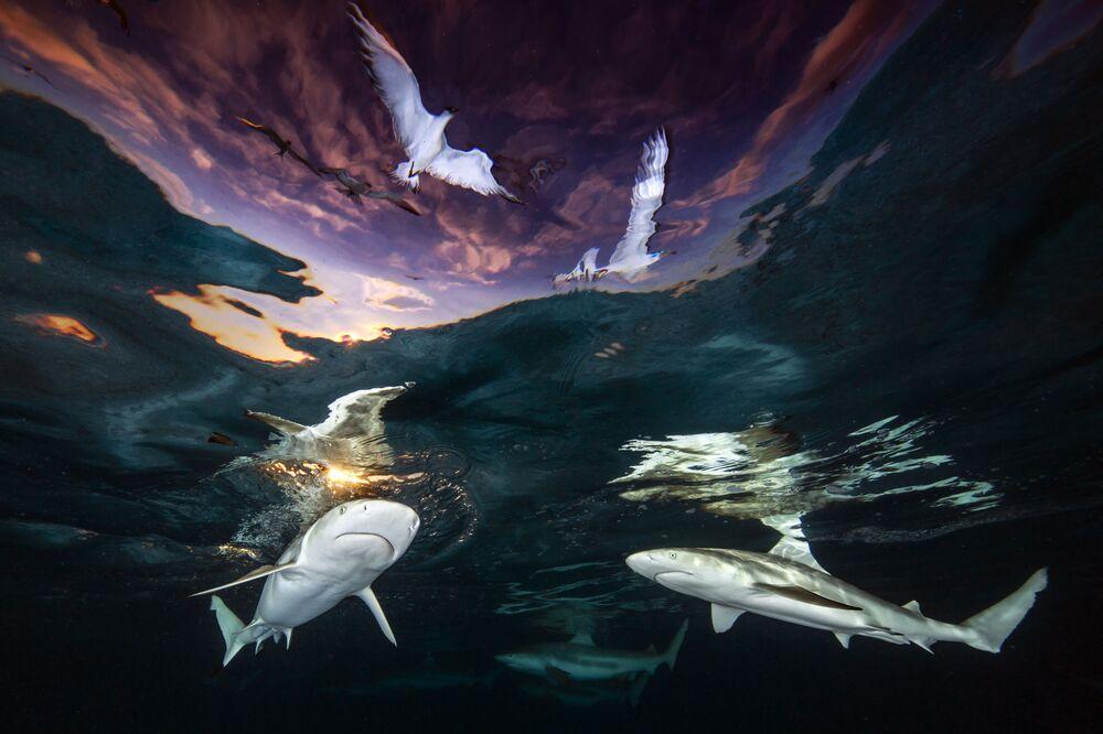 Yarışmanın Geniş Açı kategorisinde birinci seçilen ve 2021 Yılının Sualtı Fotoğrafçısı unvanını kazanan ABD'li fotoğrafçı Renee Capozzola'nın  Fransız Polinezyası'nda çektiği fotoğrafta siyah uçlu resif köpekbalıkları görüntülendi