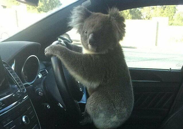 Avustralya'da koala önce trafik kazasına sebep oldu, ardından direksiyonda poz verdi
