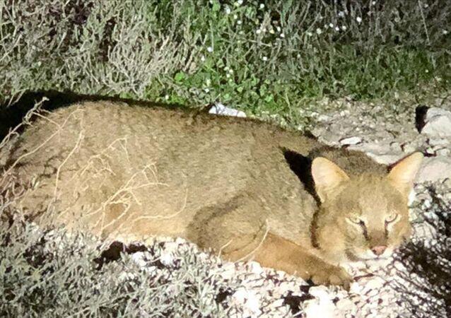 Aydın'da nesli tükenmekte olan saz kedisi görüntülendi: Deltadaki yaşam dengesi için vazgeçilmez bir tür