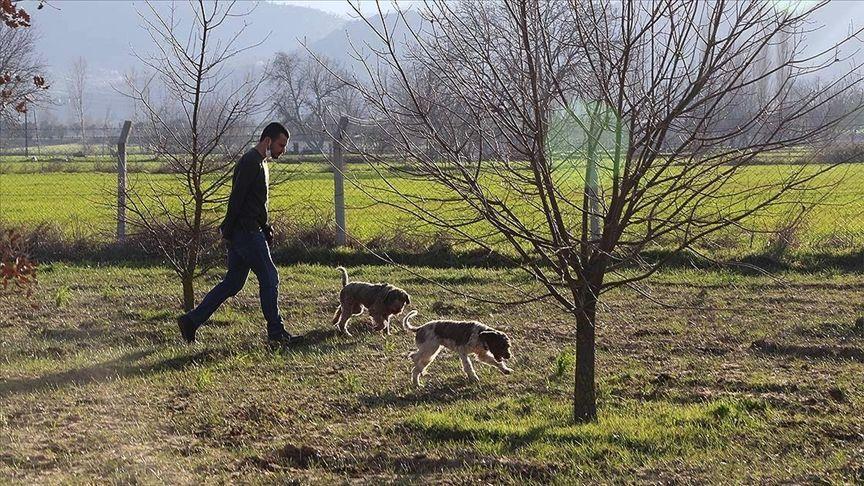 'Gizemli trüf mantarı' topraktan eğitimli köpeklerle çıkarılıyor