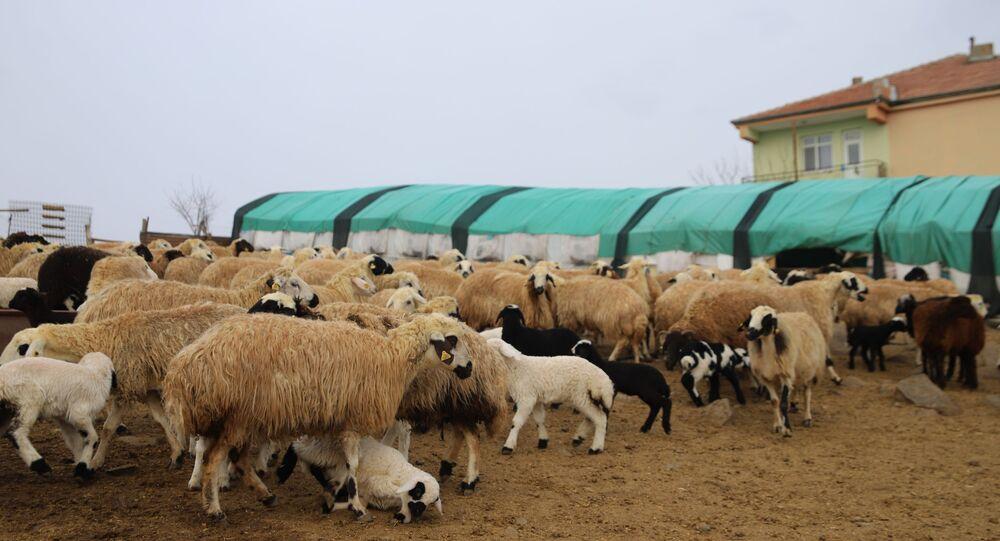 Yüzlerce kuzunun anneleriyle buluşması görüntülendi