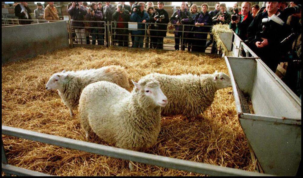 Yetişkin vücut hücresinden klonlanan ilk koyun olarak tarihe  geçen Dolly