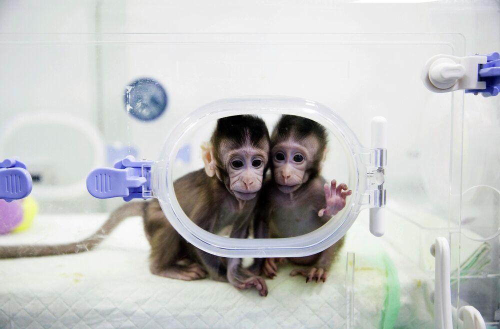 Çin'de somatik hücre çekirdeği transferi adı verilen yolla  klonlanan 2 uzun kuyruklu makak. Dünyada bir ilk olan 'klon maymunlar'  Ocak 2018'de dünyaya geldi. Maymunların klonlanmasında, 1996'da dünyaya gelen ilk memeli olan koyun Dolly'de uygulanan teknik izlendi.