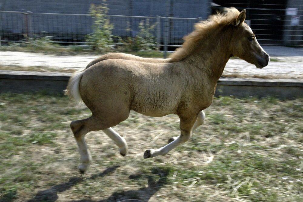 Dünyanın ilk klon atı Prometea, 2003'te Haflinger isimli kısraktan İtalya'nın kuzeyindeki Cremona'daki üretme teknolojisi laboratuvarının ahırında doğdu