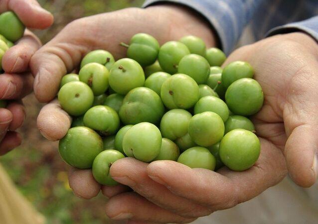 Mersin'in Erdemli ilçesinde, ilk erik hasadı yapıldı. Serada üretilen eriğin kilosu 500 liradan satıldı