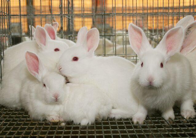 Beyaz tavşan, tavşan