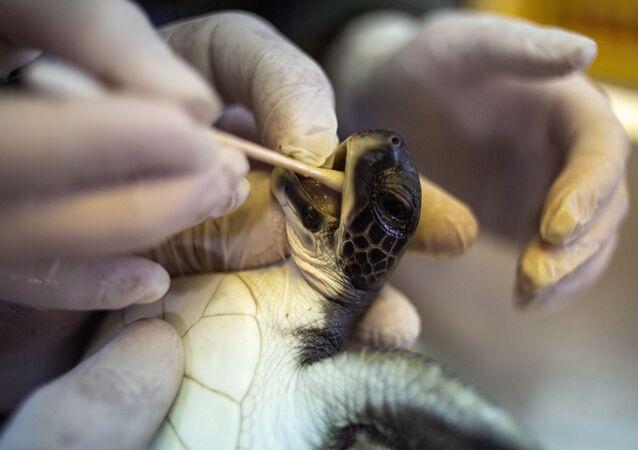 İsrail'in Akdeniz kıyısını kaplayan katran felaketinden kurtarılan 6 aylık yeşil deniz kaplumbağasına tedavi