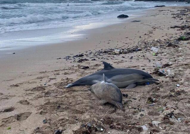 ölü yunus balığı, Riva, Beykoz