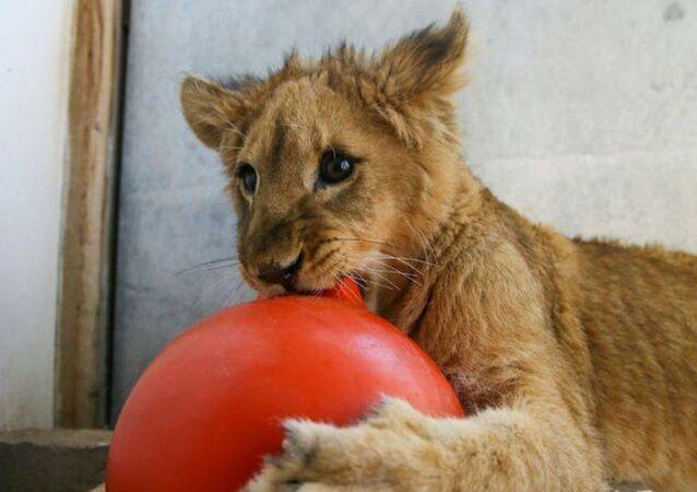 aslan yavrusu Eva