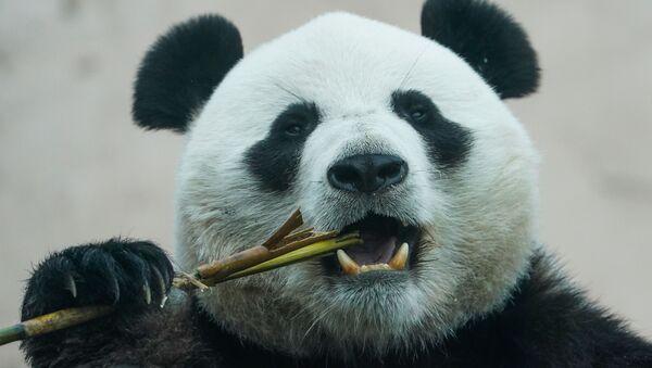 Rusya- Hayvanat bahçesi- Panda  - Sputnik Türkiye