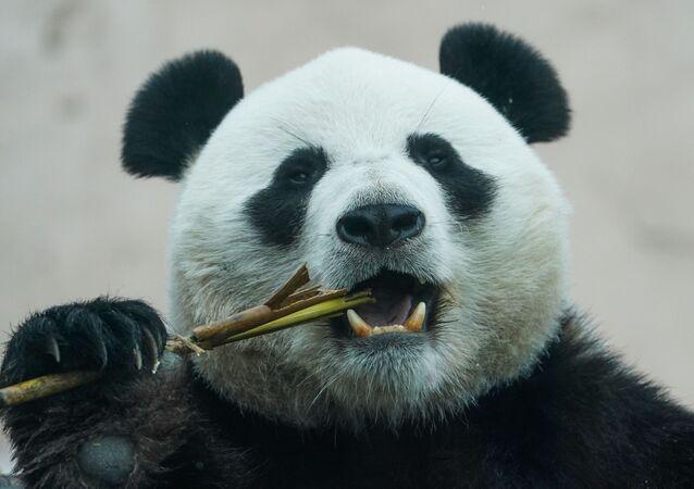 Rusya- Hayvanat bahçesi- Panda