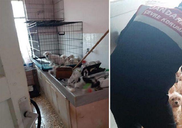 Bursa'da kaçak üretilen Maltese Terrier cinsi köpekler