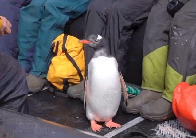 Antartika'da, katil balinalardan can havliyle kurtulmaya çalışan penguen son anda sandala atladı