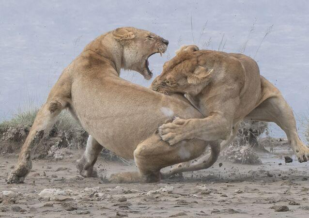 Davranış – Memeliler kategorisinde birincilik ödülünü kazanan ABD'li fotoğrafçı Patrick Nowotny'nin  Aslanlar başlıklı çalışması
