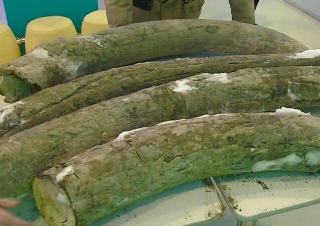 Rusya'da bir kömür madeninde dört mamut dişi bulundu