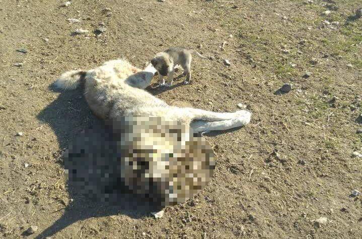 Ankara'nın Polatlı ilçesinde son bir hafta içerisinde 22 köpek zehirlenerek öldürüldü. Geçen hafta zehirlenerek öldürülen köpeğin başında bekleyen yavru ise bu hafta öldürüldü.