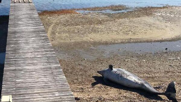 Balıkesir'in Ayvalık ilçesinde ölü bir yunus, karaya vurdu. Karaya vuran yunusun üzerinde herhangi bir yara izine rastlanmadı. - Sputnik Türkiye