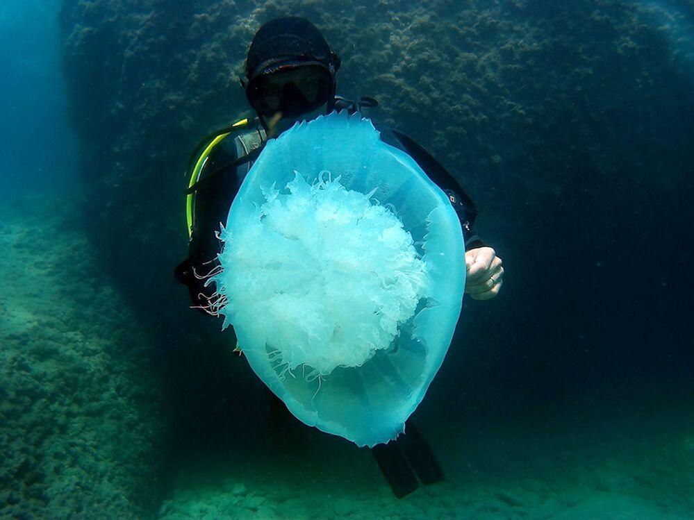 Dalgıçların kameralarına sık sık beyaz büyük denizanalarının yakalandığını hatırlatan Prof. Dr. Gökoğlu, bu ayların akıntılarla gerçekleşen geçiş dönemi ayları olduğunu belirterek, bir süre sonra denizanası popülasyonunun azalacağını vurguladı.