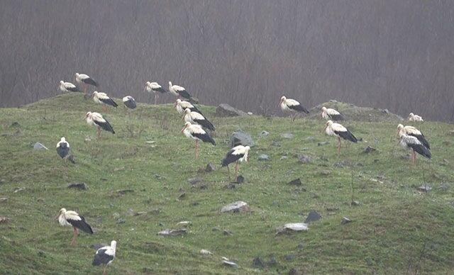 Yağmura yakalanan yüzlerce leylek İstanbul'da mola veriyor