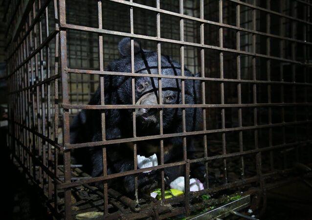 Vietnam'da 17 senedir karanlık bir bodrumda tutsak kalan 2 ayı kurtarıldı