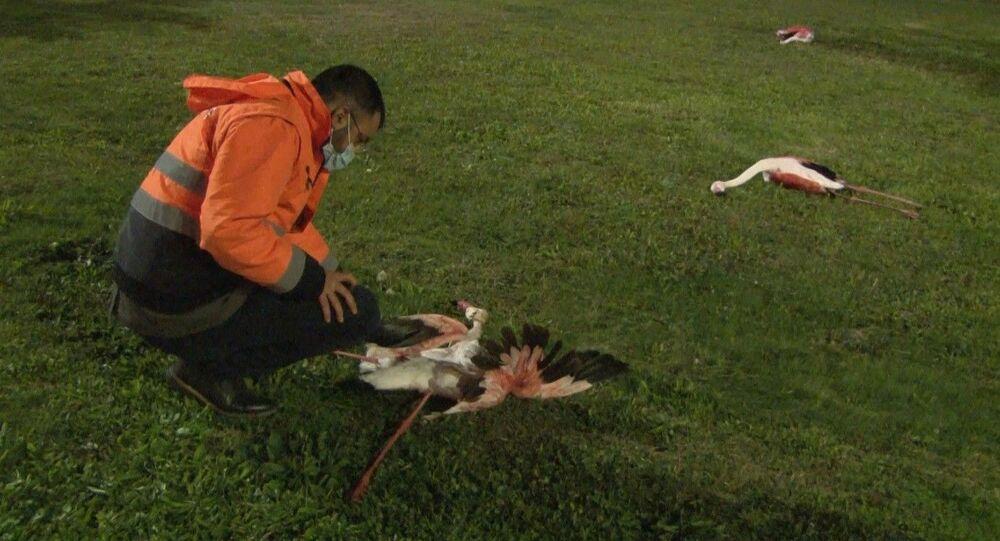 İzmir'in özellikle Çiğli ilçesinde yaşayan ve ilçenin sembolü olan flamingoların Bayraklı sahilindeki toplu ölümü endişe uyandırdı. Sahilde telef olmuş halde bulunan 9 flamingo, Çiğli Belediyesi ekipleri tarafından toplandı.